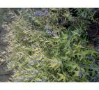 ořechoplodec clandonský Worcester Gold - Caryopteris × clandonensis Worcester Gold