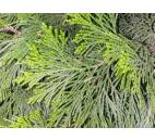pazerav sbíhavý - Calocedrus decurrens
