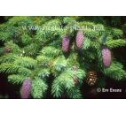 smrk likiangský - Picea likiangensis
