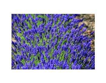 "Levandula officinalis "" Mustead blue "" - 1"