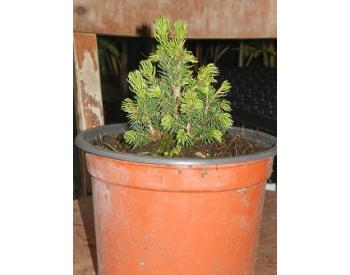 Picea glauca Rainbow´s End - 1
