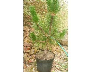Pinus massoniana - 1