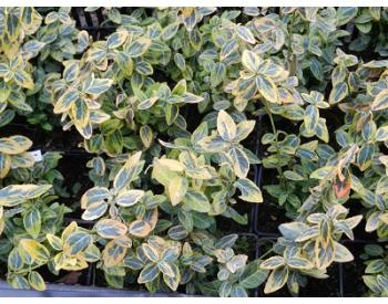 Euonymus fortunei Emerald´n Gold - 1
